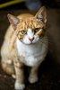 -red_cat.jpg