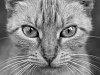 -cool_cat_bw.jpg