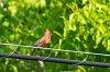 -golden_cardinal-4480.jpg