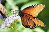 -monarch2.jpg