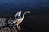 -young-swan-2.jpg