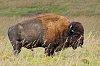 -bison-tgnp-k3__9826.jpg