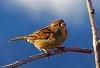 -sparrow-w-blue-r-pf.jpg