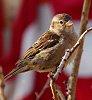 -sparrow-5-r.jpg