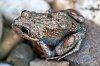 -small-frog-1.jpg