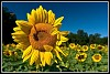 -da-14-sunflower-shot-1-1-.jpg