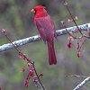 -cardinal-small.jpg