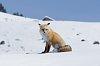 -yellowstone-16-march-2019-fox-02-small.jpg