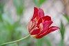 -tulip.jpg