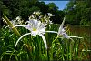 -cahaba-lily-4-rs.jpg