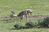-yellowstone-1-june-2019-coyote-jump-02-small.jpg