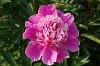 -imgp9952-pink-peonie.jpg