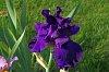 -imgp9946-black-iris.jpg