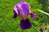 -imgp9948-purple-iris.jpg