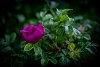 -bonnie-rose-hip.jpg