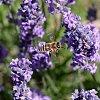 -bee-lavender-2.jpg