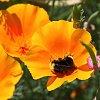 -bumble-bee-poppy-2.jpg