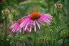 -purple-cone-flower.jpg
