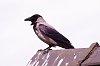 -hooded-crow.jpg