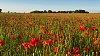 -poppies.jpg
