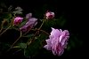 -bestest-moss-rose.jpg