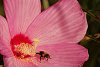 -small-cox-gargen-marsh-mallow-pink-bee.jpg