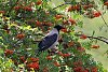 -crow-rowan.jpg