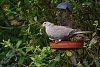 -ringed-dove.jpg