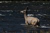 -yellowstone-1-september-2019-deer-coyote-01-small.jpg