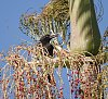 -pete0911-pied-currawong-berry.jpg