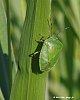 -greenleafbug-foxgrass-8x10.jpg