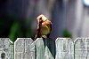-lady_cardinal.jpg
