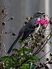 -southern_mockingbird.jpg