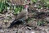 -pedestrian_woodpecker.jpg
