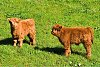 -scottish-highland-calves_fl.jpg