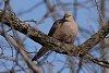 -mourning_dove.jpg
