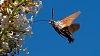 -kolibrievlinder-op-vlinderstruik.jpg
