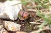 -k5__8530oct-06-2019tgnp-rainbow-scarab-beetle.jpg