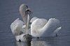 -swan.jpg