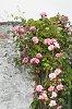 -roses-jims2.jpg