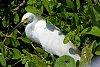 -k3__1439sep-26-2019sanibel-snowy-egret.jpg