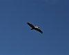 -pelican-against-blue-sky.jpg