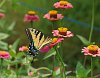 -zinnia-butterfly-crop.jpg