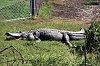 -gator5.jpg