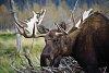 -bullmoose17.jpg
