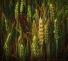 -walla-walla-wheat-800.jpg