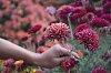 -chrysanthemum-blooms.jpg