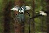 -bird-11-magpie-800.jpg