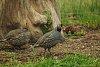 -bird-12-quail-1-1-800.jpg