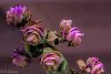 -ornamental-oregano-bright-800.jpg